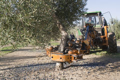 Vibrating machine in an olive tree Royalty Free Stock Images