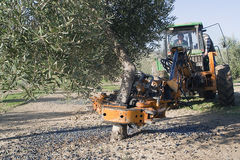 Vibrating machine in an olive tree, olive compilation of mechan Stock Image