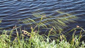 Vibration of aquatic plants. Vibration of aquatic plants near the shore of the pond stock footage