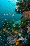 Vibrerande Anthias och Coral Reef i den Komodo nationalparken royaltyfri bild