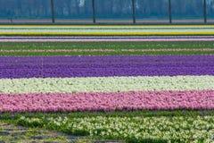Vibrerande corful blommafält i Nederländerna Arkivbild
