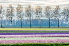 Vibrerande corful blommafält i Nederländerna Arkivfoton