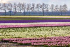 Vibrerande corful blommafält i Nederländerna Royaltyfri Foto