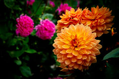 Vibrerande Dahlia Flowers i blom Royaltyfria Foton