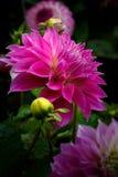 Vibrerande Dahlia Flowers i blom Arkivbild