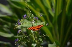 Vibrerande ek Tiger Butterfly Surrounded vid blåa blommor Arkivbild