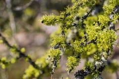 Vibrerande ekmossaEvernia prunastri som växer på filialer, höjdpunkter nationalpark, Kalifornien royaltyfria bilder