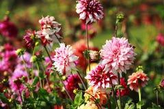 Vibrerande färgblommor i trädgården royaltyfri foto