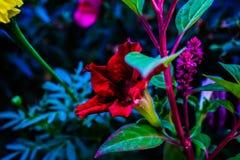 Vibrerande färger för röda kronblad royaltyfri fotografi