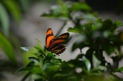 Vibrerande färger till en orange ek Tiger Butterfly Royaltyfri Bild