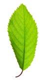 vibrerande grön leaf royaltyfria foton