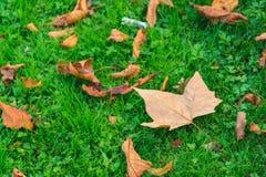 Vibrerande grönt gräs under nedgånglönnlöv grundar Autumn Season royaltyfria foton