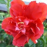 Vibrerande hibiskus Arkivfoton