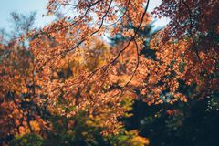 Vibrerande japanAutumn Maple sidor arkivfoto
