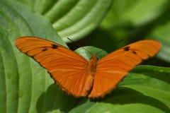 Vibrerande Julia Butterfly med vingar öppnar vitt Arkivfoton