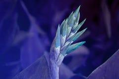 Vibrerande knoppar för Canna lilja royaltyfria foton