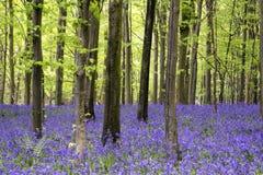 Vibrerande landskap för skog för blåklockamattvår Royaltyfria Foton