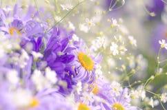 Vibrerande ljusa purpurfärgade tusenskönablommor Vår- och sommarblommor arkivbilder