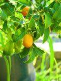 Vibrerande orange citrusfrukter på ett Kumquatträd arkivbild