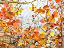 Vibrerande orange, röda och gula Autumn Leaves royaltyfri foto