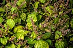 Vibrerande patchouly i blom royaltyfri bild