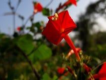 Vibrerande röd blomma Royaltyfri Foto