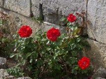 Vibrerande röda blommande rosor på väggen av La Citadelle de Dinant, Belgien Royaltyfria Bilder