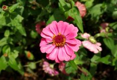 Vibrerande rosa asterblomma arkivfoton