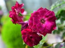 Vibrerande rosa färgblommor Arkivfoto