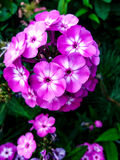 Vibrerande rosa färgblommor Fotografering för Bildbyråer