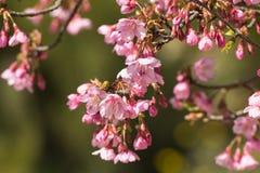 Vibrerande rosa sakura blom, körsbärsröd blomning Arkivbild