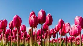 Vibrerande rosa tulpan mot en blå himmel Arkivbild