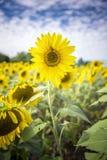 Vibrerande solrosfält Fotografering för Bildbyråer