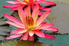 Vibrerande stor näckros i det tropiska dammet Fotografering för Bildbyråer