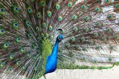 Vibrerande svassa för påfågel Arkivbilder