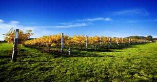 vibrerande vingård Arkivfoto