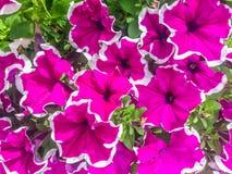 Vibrerande vita blommor för rosa färger och Arkivbild