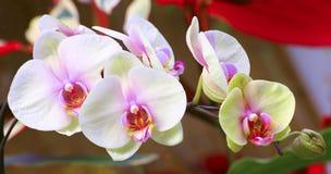 Vibrerande vita och rosa orkidér Arkivbild