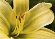 vibrerande wild för härlig lilja för färgblomma lilly Royaltyfri Bild
