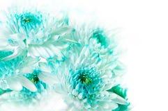 Vibrierende Aqua Dahlia Flowers stockfotos