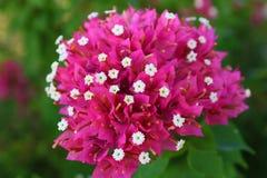 Vibrierende blühende Bugambilia-Blume (große Datei) Lizenzfreie Stockfotos