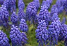 Vibrierende blaue und purpurrote Blumen Stockbild