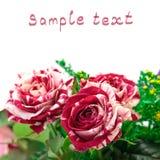 Vibrierende Blumen-Rot-Weiße Rosen-Knospe Stockfoto