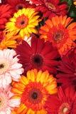 Vibrierende bunte Gänseblümchengerbera-Blumen Lizenzfreies Stockbild
