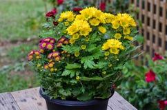 Vibrierende Chrysanthemen-Gänseblümchen Blomming Lizenzfreie Stockfotos