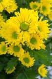 Vibrierende Chrysanthemen-Gänseblümchen Blomming Lizenzfreie Stockbilder