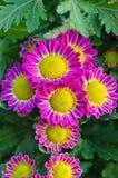Vibrierende Chrysanthemen-Gänseblümchen Blomming Lizenzfreies Stockbild
