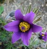 Vibrierende empfindliche pasque Blume Lizenzfreie Stockbilder