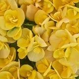 Vibrierende gelbe Begoniennahaufnahme Stockfoto