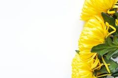 Vibrierende gelbe Chrysanthemen auf wei?em Hintergrund Flache Lage horizontal Rechter Eckstandort Modell mit Kopienraum lizenzfreie stockfotos